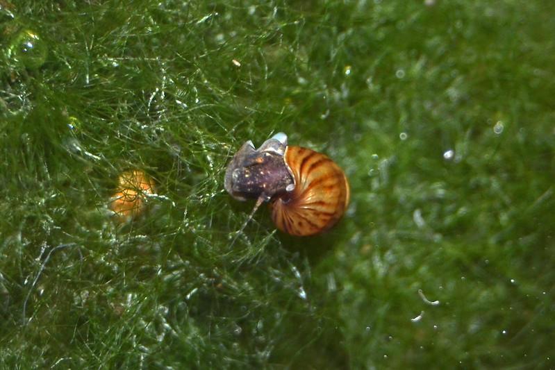Identificación caracol: Melanopsis tricarinata 27545605225_569cdc6513_c