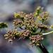 Lomatium dissectum (Apiaceae); Fern-leaf desert parsely