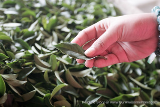 Nantau Tea Farm-37.jpg | by OURAWESOMEPLANET: PHILS #1 FOOD AND TRAVEL BLOG