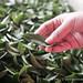Nantau Tea Farm-37.jpg