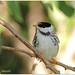 Blackpoll Warblers__IMG_7712