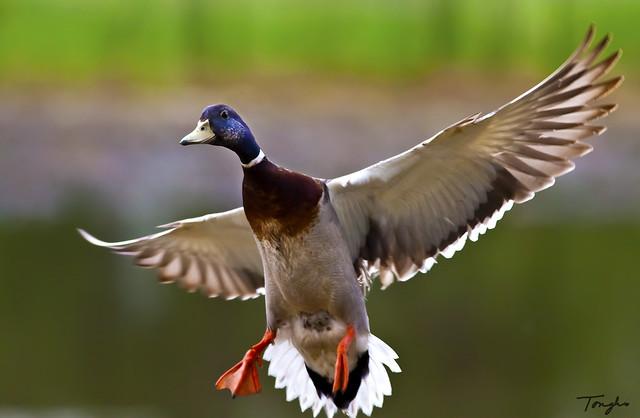 Mallard Duck Landing |...