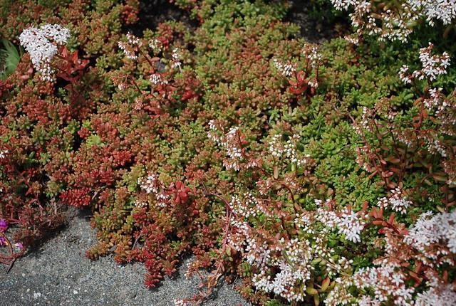 Sedum Album Sedum Album Coral Carpet Sedum