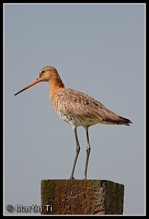 Grutto (Limosa limosa) / Black-tailed Godwit | by Martin Ti