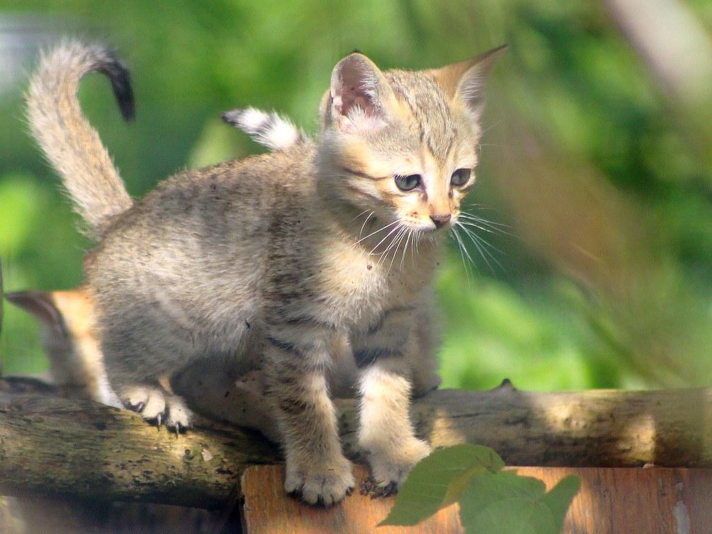 B b chat de gordoni n 2012 environ 2 mois parc des f l flickr - Photo de bebe chat ...