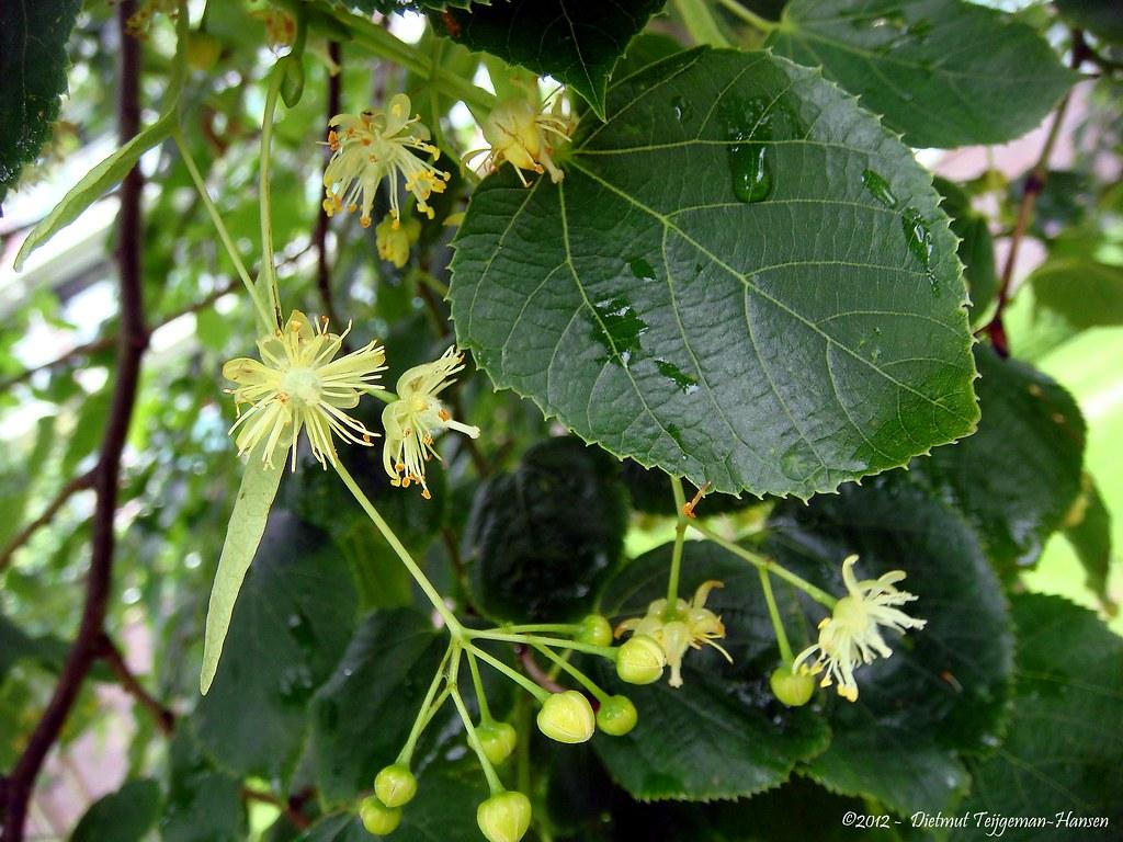 lindeboom in bloei / flowers of tilia tree | Dietmut ...