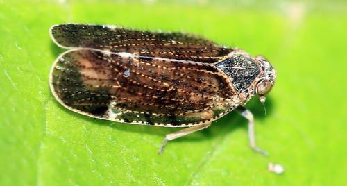 Tachycixius pilosus7318