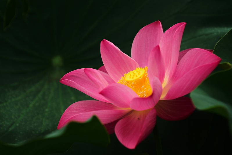 Lotus in 2016 early summer