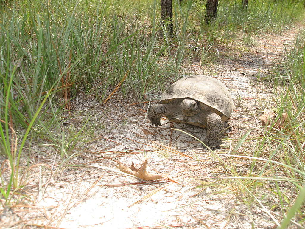 Gopher tortoise and habitat 016 florida fish and for Florida fish and wildlife jobs