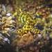 Hapalochlaena lunulata - Agressive behaivor - swimming