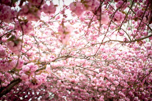cherry_blossoms_paris_1 | by Making Magique