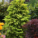 Picea abies 'Aurea Magnifica' (Magnificent Golden Norway Spruce) in late spring