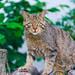 Wild cat on the wood pile