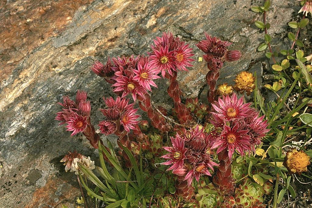 sempervirum montanum joubarbe des montagnes crassulaceae flickr. Black Bedroom Furniture Sets. Home Design Ideas