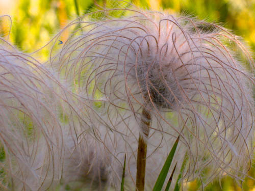 Clematis Hirsutissima Seed Hairy Clematis Seed Heads