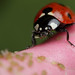 The hungry ladybird #1