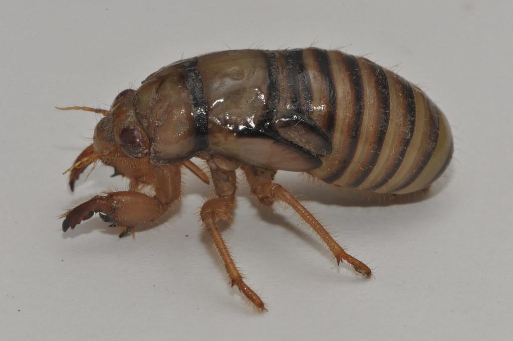 cicada nymph - photo #41