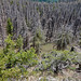 Mountain Pine Beetle Kill - Gearhart Wilderness, Oregon