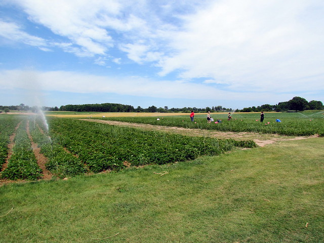 Strawberry picking at walvoord 39 s berry farm oostburg wis for Courtyard landscape oostburg wi