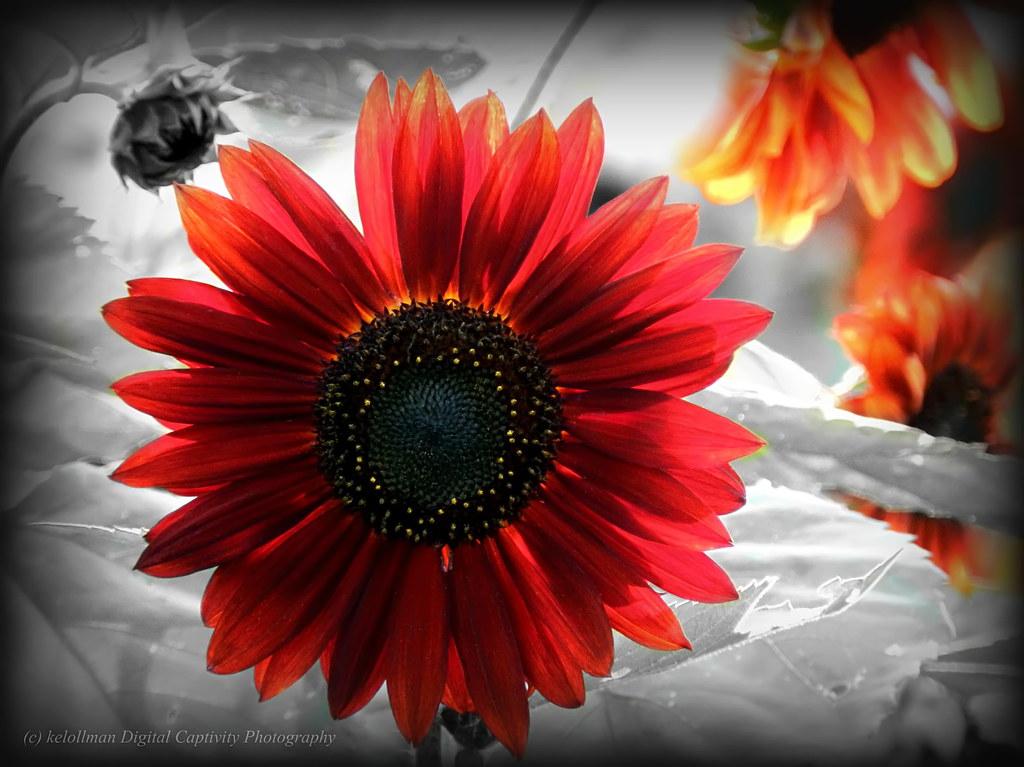 Backlit Red Sunflower - Color Pop