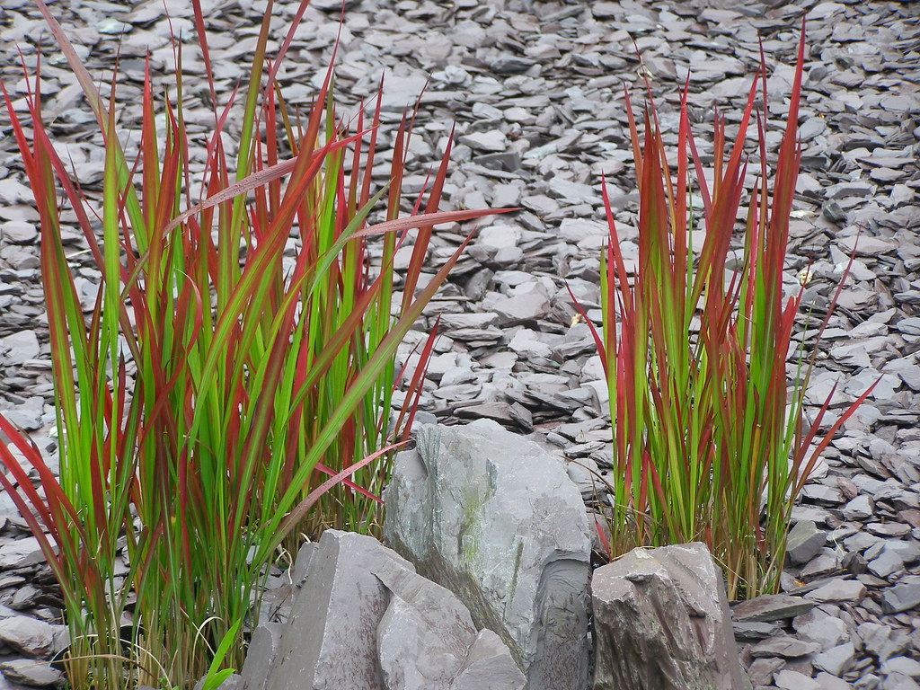 imperiata cylindrica 39 rubra 39 japanese blood grass flickr. Black Bedroom Furniture Sets. Home Design Ideas