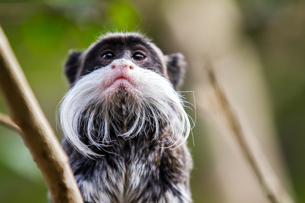 Beardy Monkey: Wise Man Once Say.... Monkey Who Grow Wispey Beard; Live L