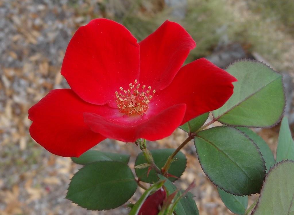 Red Rose Bar Restaurant Thane Maharashtra