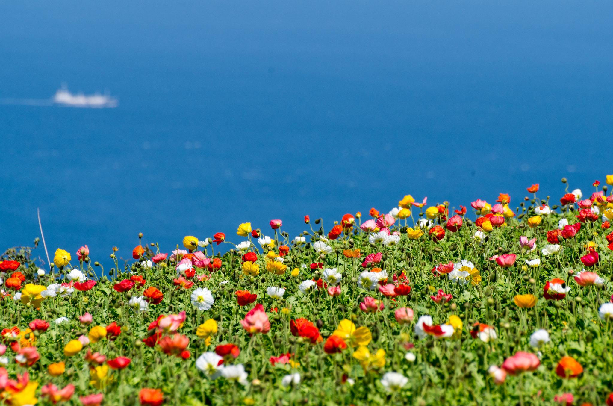 海辺の花畑