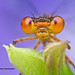 Orange bluet - Enallagma signatum