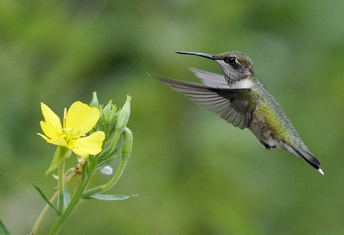 Photo of the Week - Ruby-throated Hummingbird (MA) | by U. S. Fish and Wildlife Service - Northeast Region