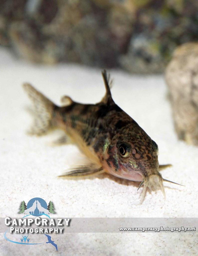 Are Cory catfish scaleless - answers.com