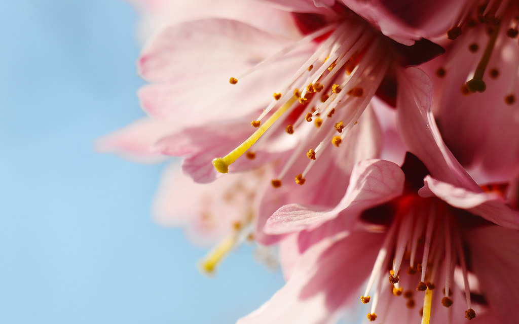 4K Resolution wallpaper 16:10 - Peach flowers | Flickr - Photo ...