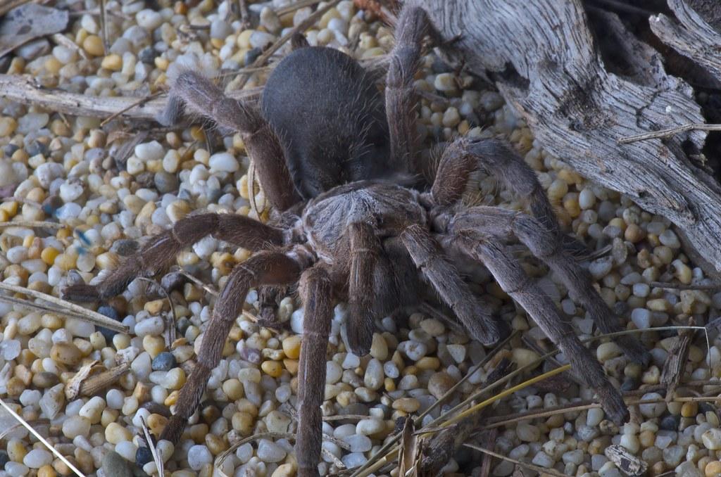 Australian Bird Eating Spiders Australian Bird Eating Spider