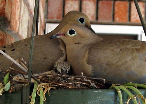 1dove chick abby fateman lafayette | by Contra Costa Times