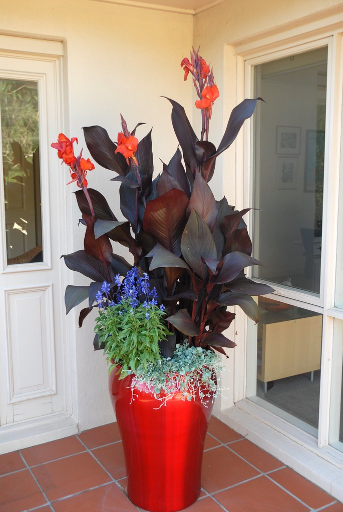 Tropicanna Black Canna Container Garden Red Metallic Pot Flickr