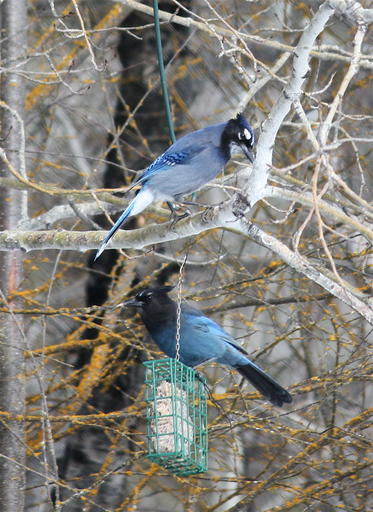 Hybrid Blue Jay Stellers Jay And A Stellers Jay Beaver
