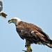 Bald Eagle Harassed by Northern Mockingbird