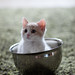 Kitten in Bowl