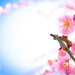 ume '12 - plum blossoms #7 (Jyounangu shrine, Kyoto)