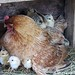 Lokey's chicks getting comfy 2
