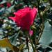 Rosa 'Radrazz' LG 8-16-12 2715 lo-res