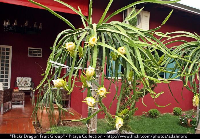 Pitahaya Dragon Fruit Dragon Fruit Pitahaya