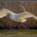 Grote Zilverreiger (Ardea alba) / Great Egret