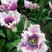 Tulip hybrid at Keukenhof Gardens