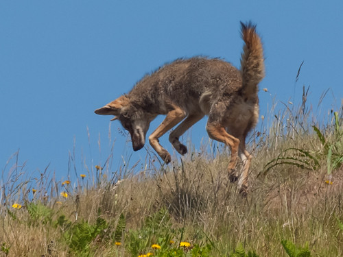 Coyote (Canis latrans) | by Franco Folini
