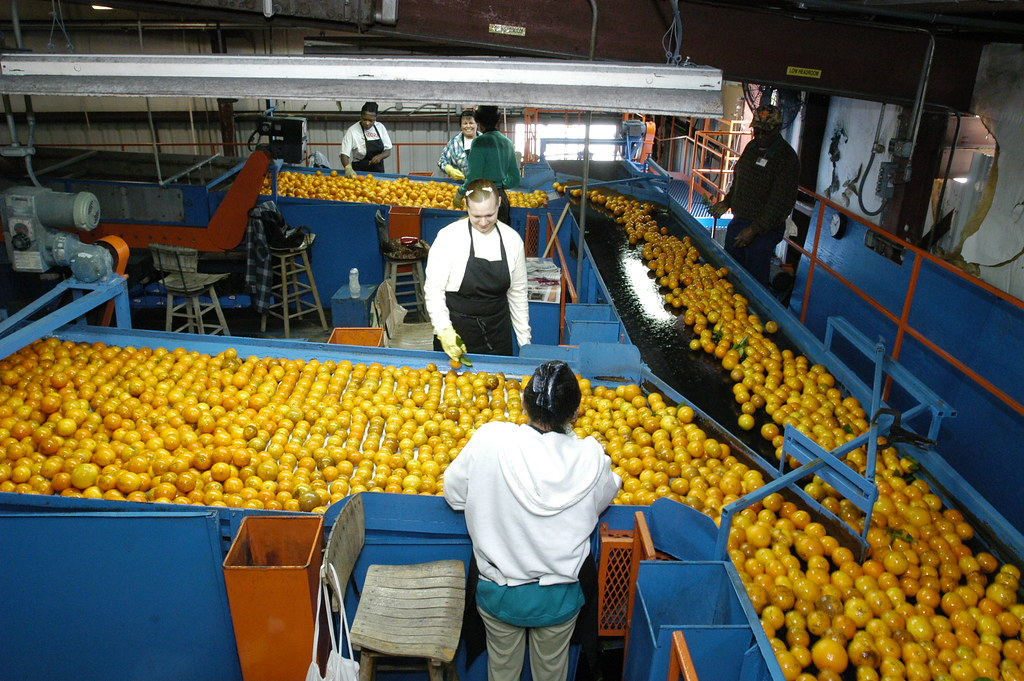 20120106-OC-AMW-0534 | Oranges are processed at the Seald ...