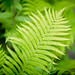Backyard Fern