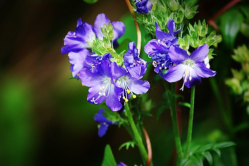 Polemonium / Jacobs Ladder | by Claire Fun