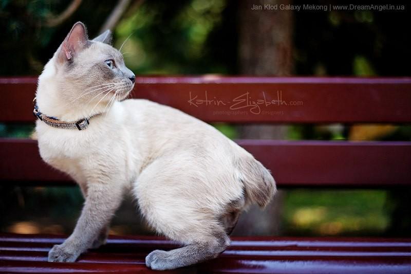 Меконгский бобтейл, фото фотография породы кошек