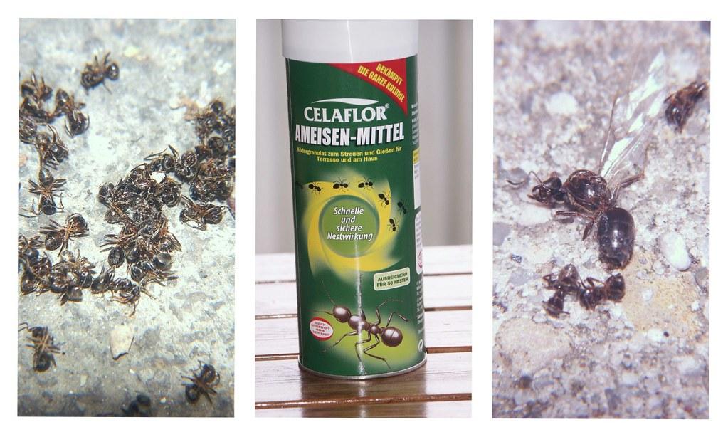 mittel gegen ameisen ameisen im garten normalerweise habe flickr. Black Bedroom Furniture Sets. Home Design Ideas